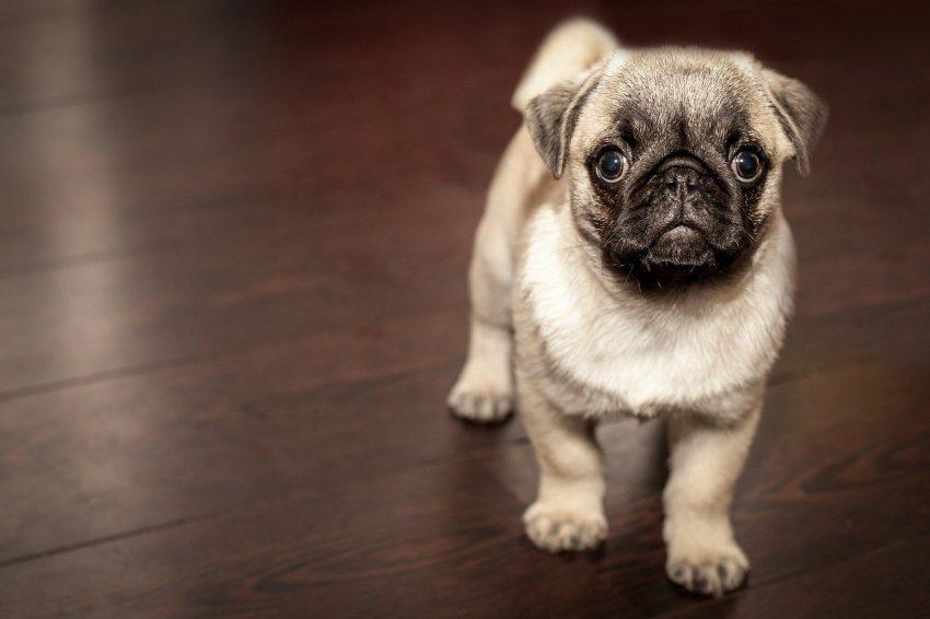 Protéger les chiens contre les vers intestinaux